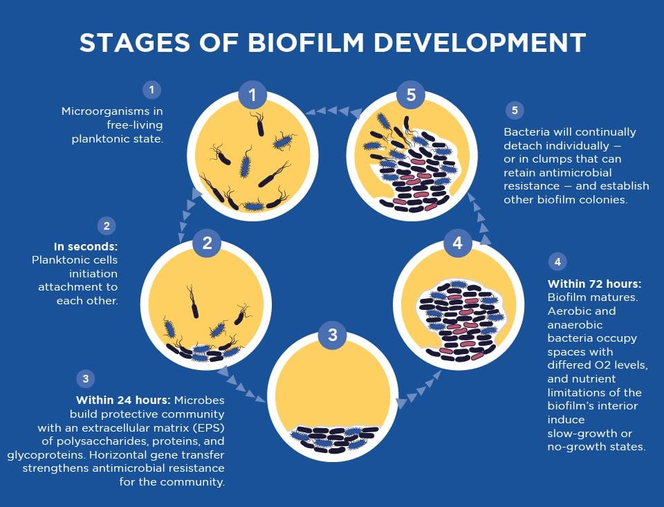 stages of biofilm development